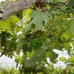 Cantine Aperte 2016, una degustazione in itinere in Capitanata - D'Alfonso del Sordo